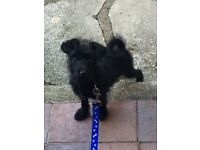 Chihuahua cross Toy Poodle Puppy - fully vaccinated