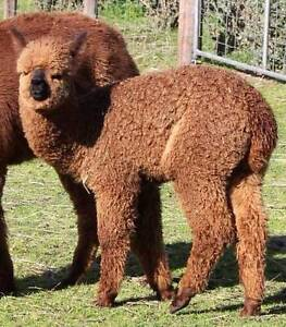 Alpacas for Sale - Prices Reduced Nairne Mount Barker Area Preview