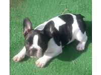 French bulldog in Northern Ireland | Dogs & Puppies for Sale