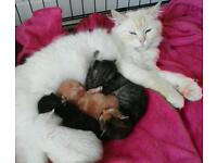 ***Gorgeous Ragdoll X Kittens***