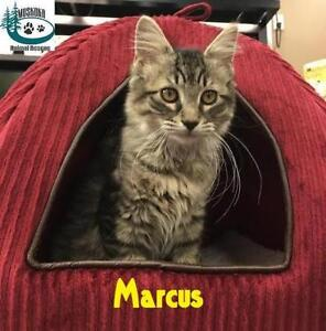 "Baby Male Cat - Domestic Medium Hair: ""Marcus - Cool Markings!"""
