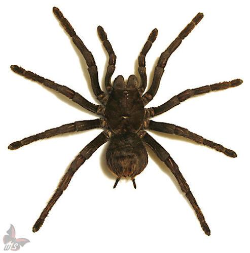 BIRD SPIDER-Pamphobeteus antinous-FEMALE,GIANT!!, UNMOUNTED