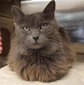 "Adult Male Cat - Domestic Medium Hair: ""Charles"""