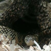 Beautiful king snake (with accessories) needs new home