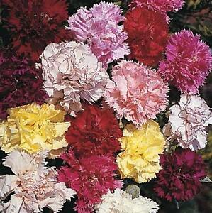 Carnation Chabaud Giants Mix Sweet Spicy Fragrance 50 Seeds Free Ship!
