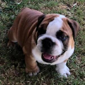 British Bulldog Puppy for Sale