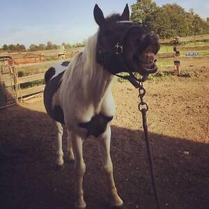 Pony available for ADOPTION