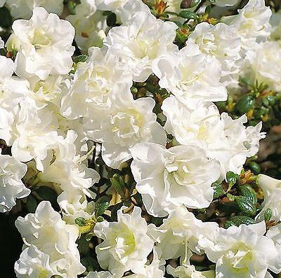 japanische azalee schneeperle 15 20cm rhododendron obtusum zwerg alpenrose ebay. Black Bedroom Furniture Sets. Home Design Ideas