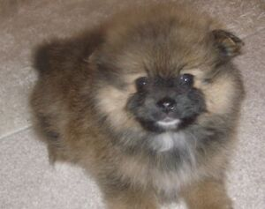 ❤️T-cup Pomeranian puppies (1 Female left)