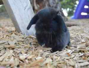 Mini lop and hutch Mooroolbark Yarra Ranges Preview
