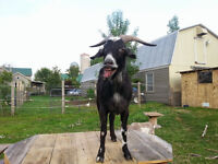 2 PET GOATS SEEKING FOSTER OR FOREVER HOME