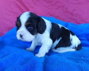CAVALIER KING CHARLES PEDIGREE MALE PUPPY Grafton Clarence Valley Preview