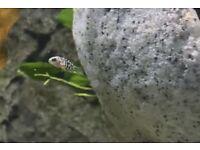 5 Honduran Red Point Cichlid Fry