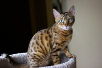 SPAYED F5 BENGAL FEMALE PET TO SCREENED PERFECT HOME