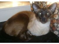 MISSING: SIAMESE SEAL POINT KNIGHTSWOOD (G13)