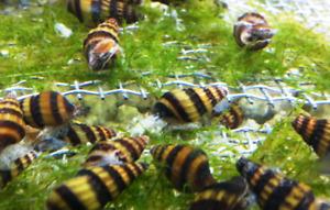 Escargots Assassins snails à vendre