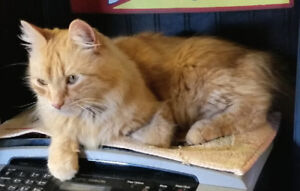 "LOST...Orange Tabby ""Wynstinn"""