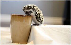 Babie Hedgehogs
