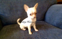 "Short Coat "" Apple Head"" Chihuahua (male is sold)"