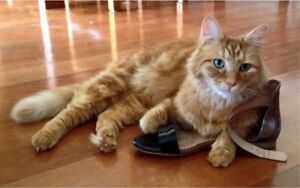 Wanted: Wanted Female Fluffy Ginger Cat/Kitten