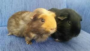 Emily & Jet (De-sexed) need a forever home-QLD GUINEA PIG REFUGE. Bracken Ridge Brisbane North East Preview