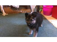 german shephard puppie