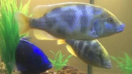 fish . venustus pair