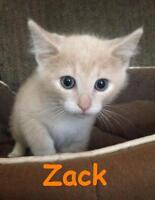 "Baby Male Cat - Domestic Short Hair: ""Zack - Handsome Boy!"""