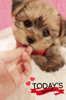 Morkie babies = Hypo-allergenic & Non-shedding ❤️