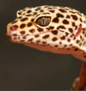 Looking for leopard gecko
