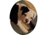 Old English Bulldog Puppies - ready now!