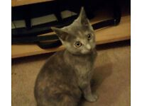 Missing Grey Kitten - Cathays Area. CF24.