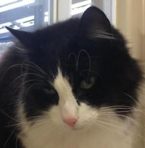 """Adult Male Cat - Domestic Medium Hair-black and white: """"Grover"""""""
