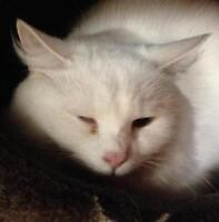 """Young Female Cat - Domestic Long Hair-white: """"Lizette"""""""