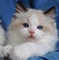 Looking for a bicolour ragdoll
