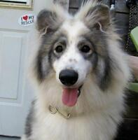"Young Male Dog - Australian Shepherd: ""Koda"""