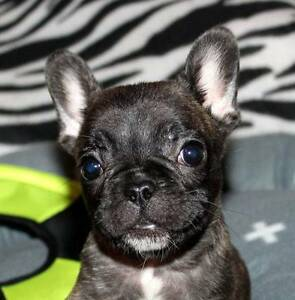 FRENCH BULLDOG PUPPIES 4 SALE Karuah Port Stephens Area Preview
