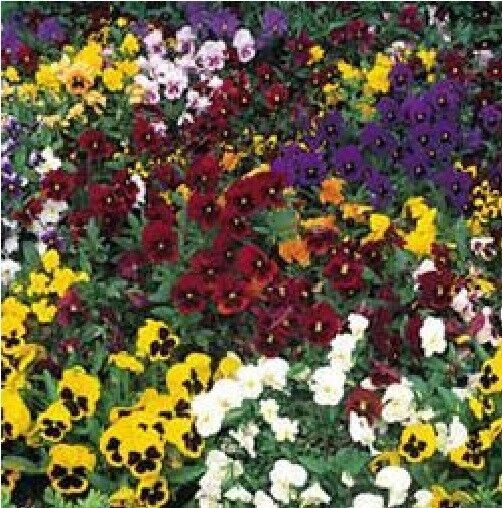 Kings Seeds Pansy Frizzle Sizzle Mixed Picture Packet Flower 25 Seed