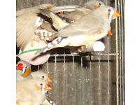 Zebra Finches For Sale £7 Each