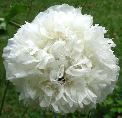 WHITE PEONY DOUBLE POPPY White Cloud SWANSDOWN Papaver Paeoniflorum 250 Seeds