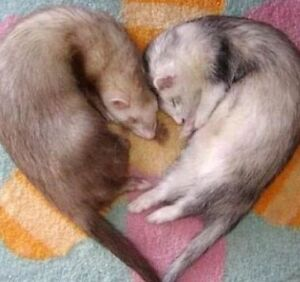 Looking to buy 2 ferrets