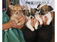 Chihuahuas puppies