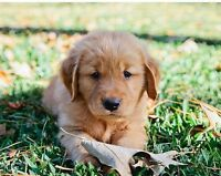 Wanted Golden Retriever puppies