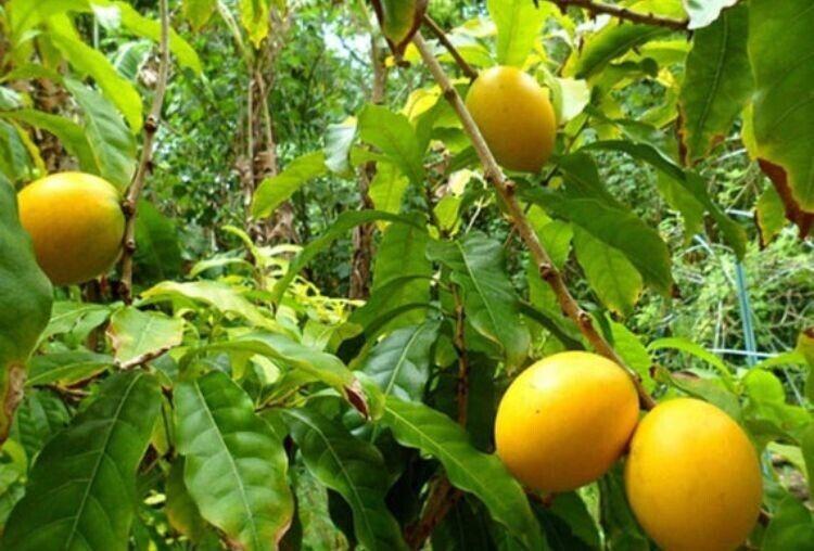 "Rare Abiu live fruit tree (6""-24"")"