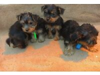 Full breed yorkshire terrier ready now