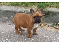 FRENCH BULLDOG PUPPIES- LAST TWO!