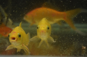 Large goldfishes Para Hills Salisbury Area Preview