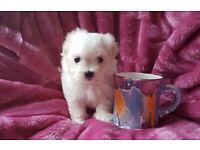 Very very tiny Maltese puppy dog
