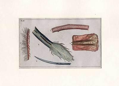 Anatomie - Medizin-Mikroskopie altkol. Kupferstich 1800