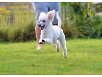 KC REGISTERED ,PRA UNAFFECTED miniature poodle puppies for sale